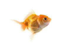 Orange Goldfish Isolated on White Background Stock Images