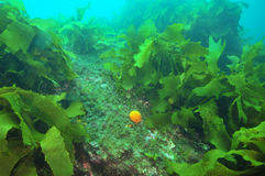 Orange golf ball sponge among kelp Royalty Free Stock Photos