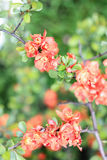 Orange gorgeous chaenomeles. On a green background Royalty Free Stock Photography