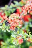 Orange gorgeous flower chaenomeles. On a green background Royalty Free Stock Photo