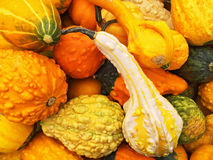 Orange gourds of different shapes Royalty Free Stock Photography