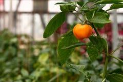 Orange Grüner Pfeffer Stockfotos