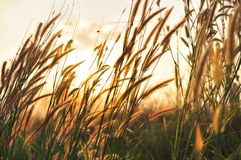 Orange grass Royalty Free Stock Image