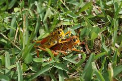 Orange grasshoppers mating Royalty Free Stock Photography
