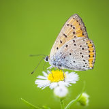 Orange and gray butterfly Stock Images