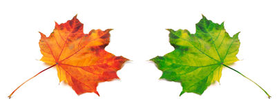 Orange and green autumn maple-leafs Stock Images