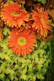 Orange and green floral bouquet, gerbera and orchids. Flowers Royalty Free Stock Photography