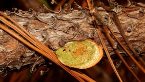 Orange and Green Forest Legume. A green and  orange legume growing on a branch with pine needles beside it in the forest.  Tsitsikamma hike.  South Africa Royalty Free Stock Photos