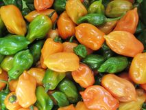 Orange and Green Habanero Peppers Capsicum. These are home grown orange and green habanero peppers, Capsicum, a very hot pepper used for spicing food royalty free stock image