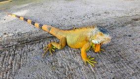 Orange green iguana on the ground. Stock Photography