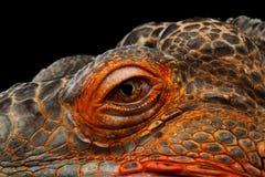 Orange green iguana isolated on black background. Close-up Eyeball of dragon head, Orange green iguana reptile isolated on black background stock images