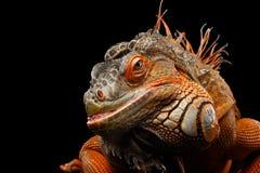 Orange green iguana isolated on black background. Close-up Head smiling Reptile, Orange green iguana isolated on black background, funny animal royalty free stock image