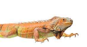 Orange green iguana isolated on white background Stock Images