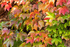 Orange and green leaves Stock Images