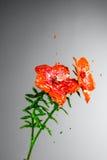 Orange and green paint burst flower Stock Photo