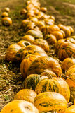 Orange-Green Pumpkins On The Field Before Harvest Royalty Free Stock Images