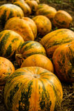 Orange-Green Pumpkins On The Field Before Harvest Royalty Free Stock Photos