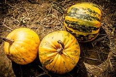 Orange-Green Pumpkins On The Field Before Harvest Stock Photos