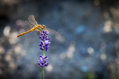 Sympetrum Dragonfly on Lavender Buds. An orange and green Sympetrum dragonfly perches on lavender buds in dappled sunlight Stock Images