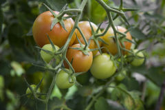 Orange and green tomatoes Royalty Free Stock Photos