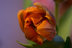 Orange green tulip Royalty Free Stock Images