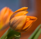 Orange green tulip. In winter at home Royalty Free Stock Images