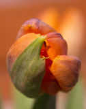 Orange green tulip. In winter at home Royalty Free Stock Photo