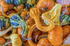 Orange Green Yellow Gourds Calabash Pumpkins Washington Royalty Free Stock Photo