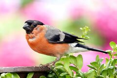 Orange and Grey Black Small Bick Bird Stock Image