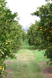 Orange Grove. Orange Trees stock photos