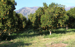 Orange grove Royalty Free Stock Image