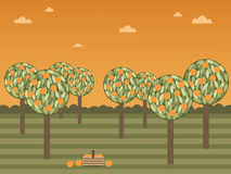 Orange grove Stock Images