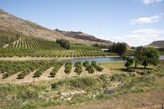 Orange grove Cederberg region South Africa Royalty Free Stock Photo