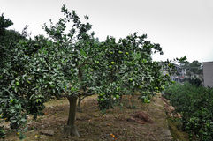 Orange grove Royalty Free Stock Photos
