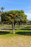 Orange grove with juicy fruits Stock Photo