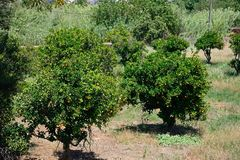 Orange grove, Silves, Portugal. Orange grove on the edge of town, Silves, Portugal, Europe Stock Images