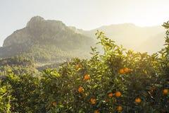 Orange. Grove in Soller. Mallorca Stock Photo