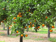 Orange grove Royalty Free Stock Images