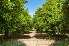 Orange grove. The grove of orange trees with ripe fruits Royalty Free Stock Photography