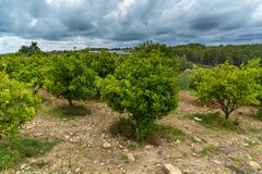Orange grove. The grove of orange trees with ripe fruits stock images