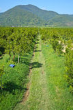 Orange groves Stock Photos