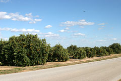 Orange Groves In Florida Royalty Free Stock Photography