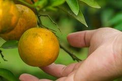 Orange groves Stock Photos