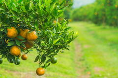 Orange groves Stock Photography