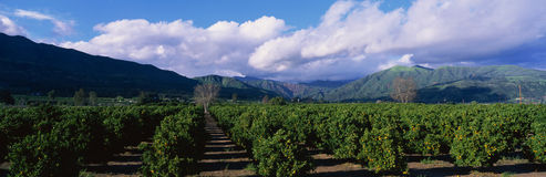 Orange groves near Fillmore Royalty Free Stock Images