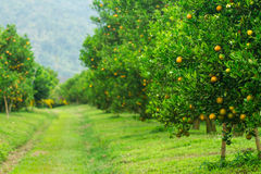 Orange groves Stock Photo