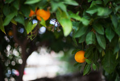Orange growing on a tree. Stock Images