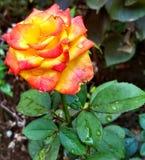 Orange gul ros med vattendroppar royaltyfria bilder