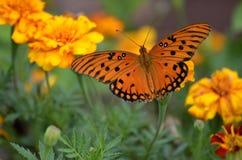 Orange gulf fritillary butterfly Stock Image