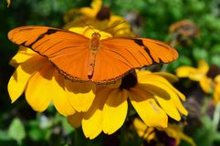 Orange Gulf Fritillary Butterfly stock photo